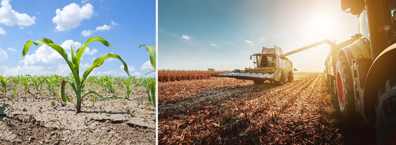 Montage of corn sprouting in dry soil and a harvester in a corn field