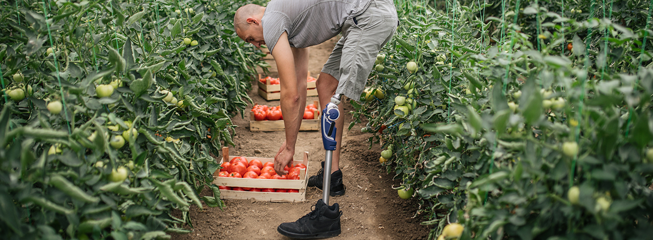 Farmer with a prosthetic leg picks tomatoes