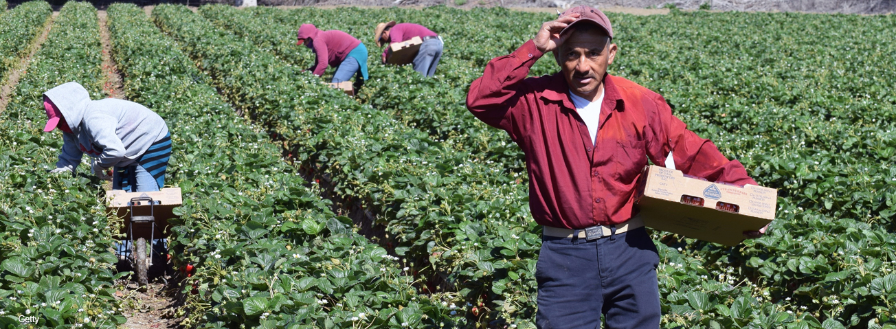 Migrant workers in the field with older migrant worker in the foreground