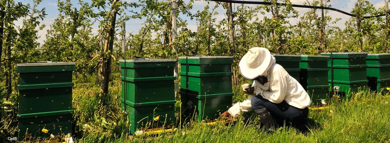 Beekeeper in an apple orchard