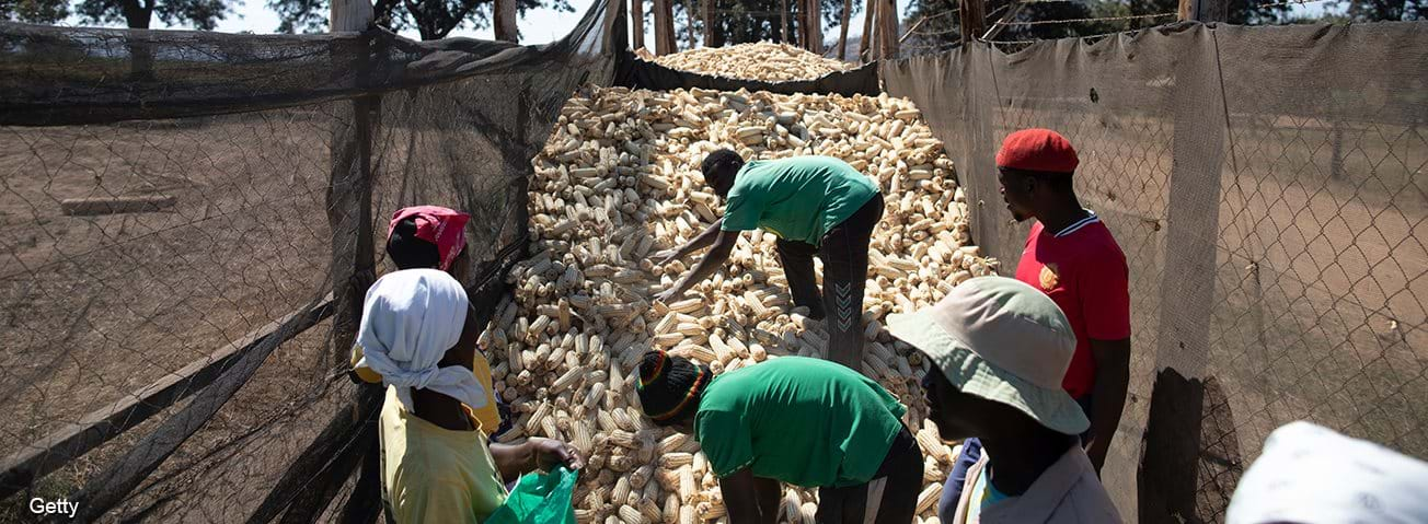 African farm workers putting corn into bags