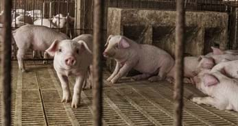 Young pigs stand in a pen at a farm in China.