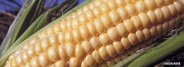 USDA ERS - Bt Corn Adoption by U.S. Farmers Increases Yields and ...