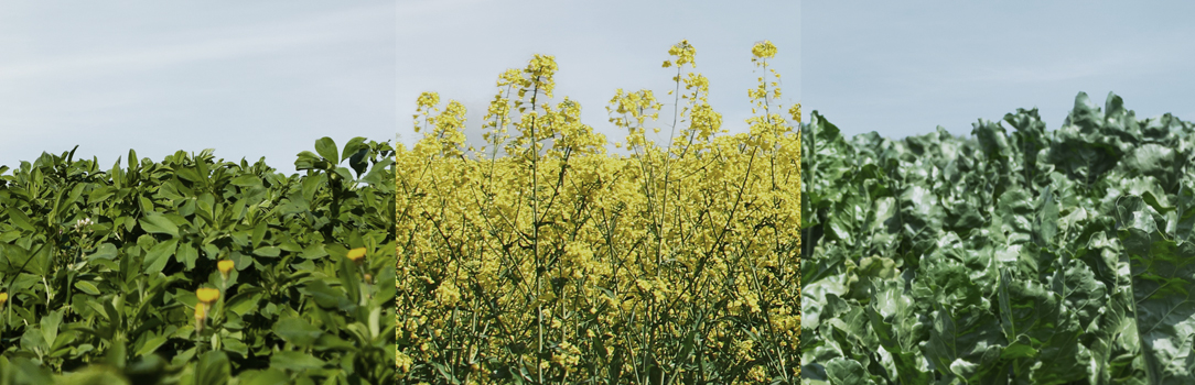 Composite photo showing alfalfa, canola and sugarbeets
