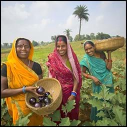 indian women collect eggplant in field