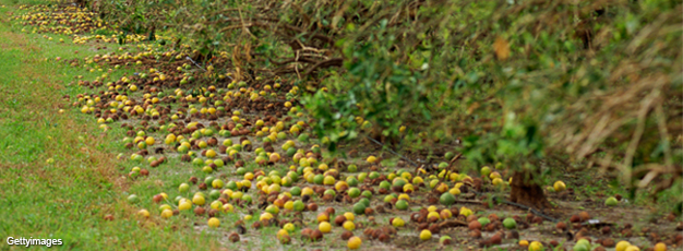 Fallen citrus fruit on the ground after hurricane