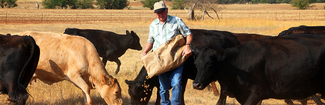 Livestock owner in a field feeding his cattle