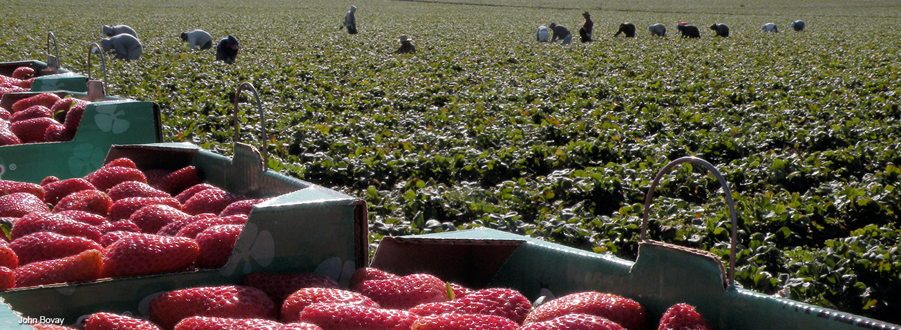 Closeup of strawberries in cartons with field workers in the background